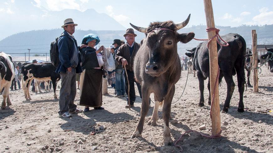 Bild: Rinder am Tiermarkt Otavalo, Ecuador