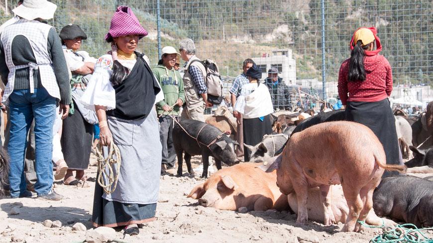 Bild: Schweine am Tiermarkt in Otavalo, Ecuador