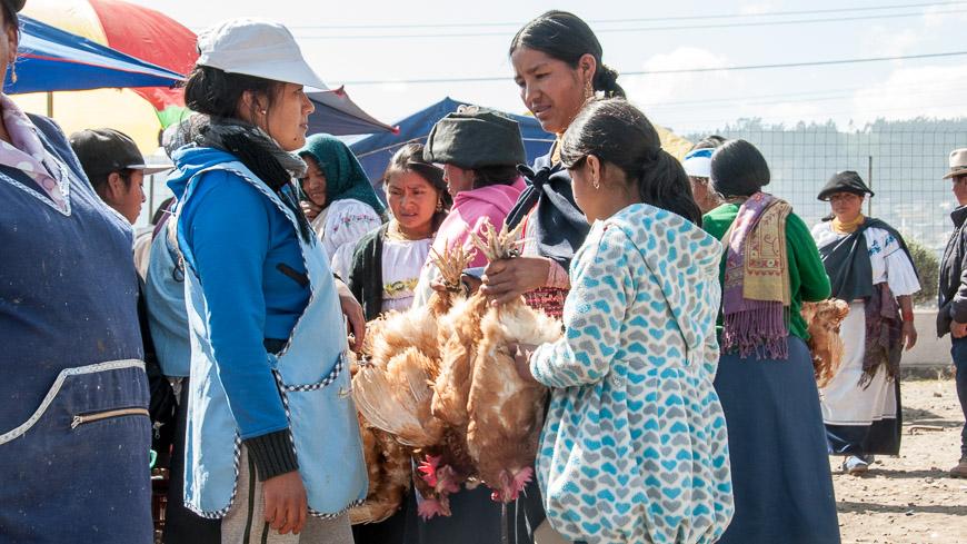 Bild: Hühner am Tiermarkt Otavalo, Ecuador