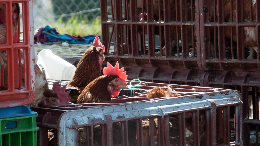 Bild: Hühner am Tiermarkt in Otavalo, Ecuado