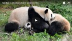 [Audio-Slideshow] Raufende und spielende Pandas in Chengdu