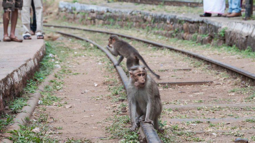 Affen im Bahnhof in Indien