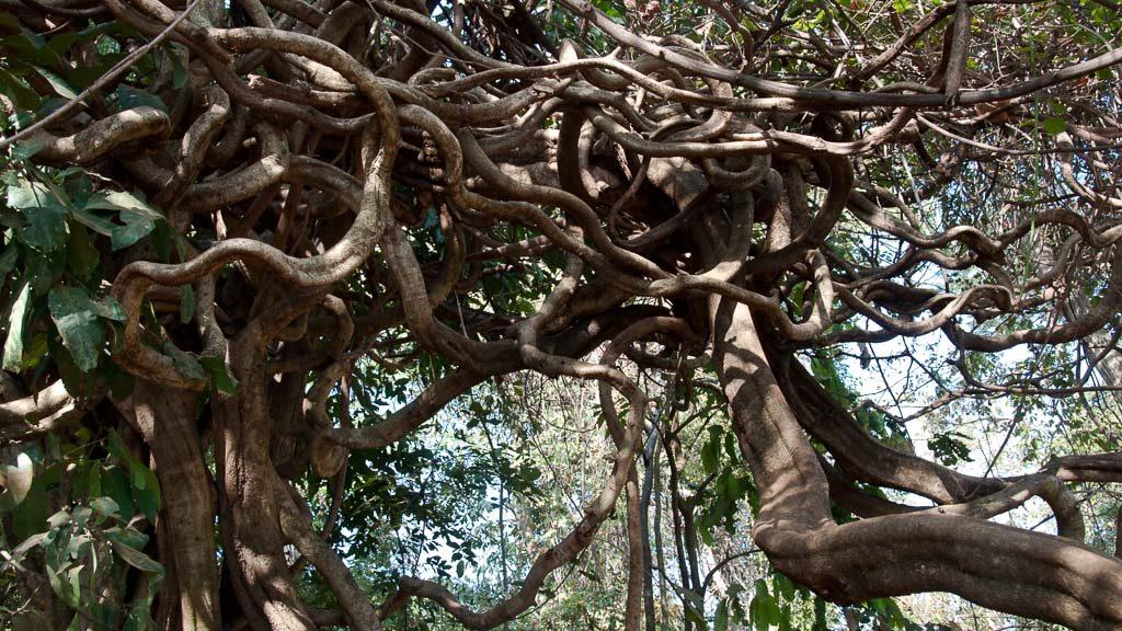 Verschlungene Äste eines Baums in Kambodscha