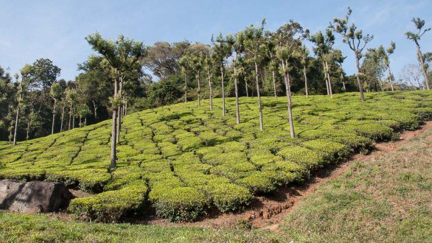 Teeplantagen entlang der Nilgiri Bergeisenbahn