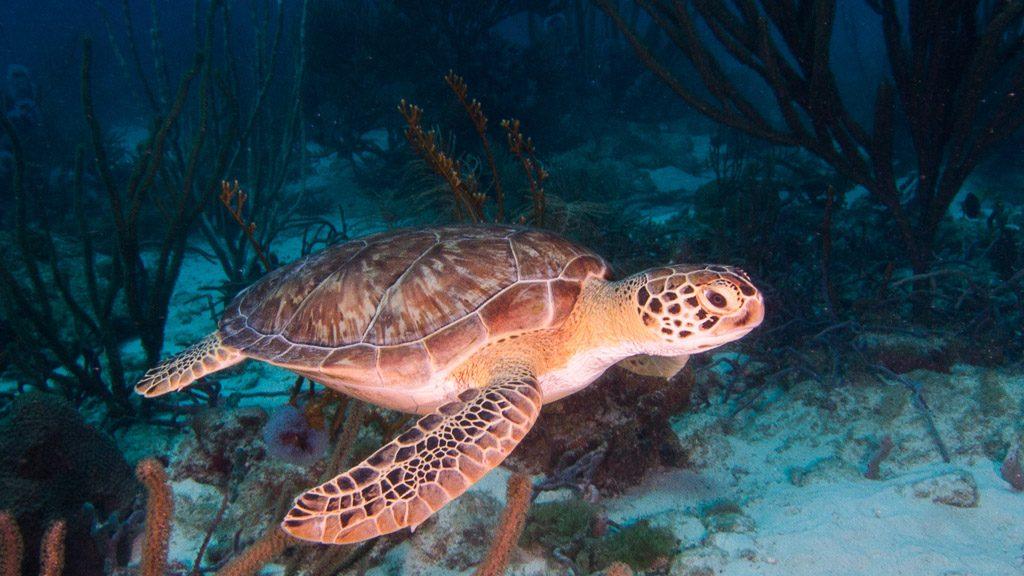 Loggerhead Meeresschildkröte Bild: (c) Aruba Tourism Authority