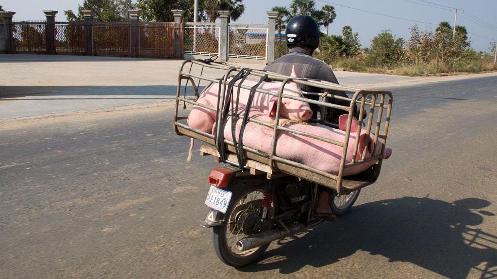 Schweine am Moped in Kambodscha