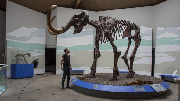 Größte Mammut-Skelett Europas im Mammut Museum Siegsdorf