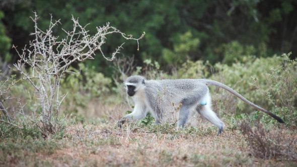 Affen erste Safari Südafrika