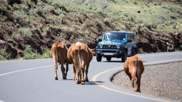 Auto in Lesotho und Kühe auf der Fahrbahn