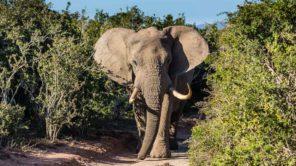 Elefant während erste Safari in Südafrika