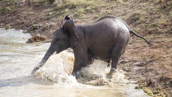 Elefant am Wasser während erste Safari in Südafrika