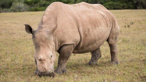 Nashorn während erste Safari in Südafrika
