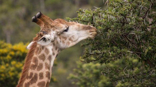 Giraffe bei erste Safari in Südafrika