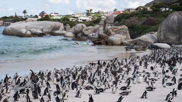 Beliebt: Die Pinguine in Boulders Beach in Simon's Town
