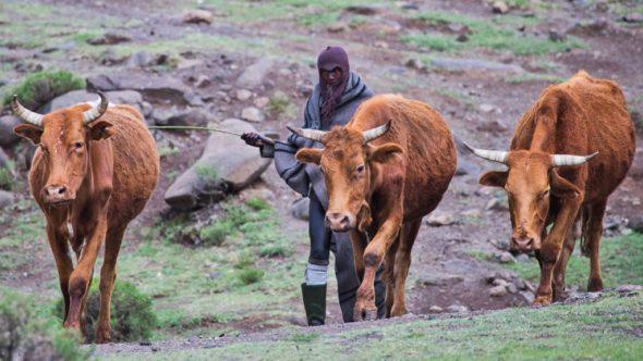 Hirte mit Kühe während einem Roadtrip durch Lesotho