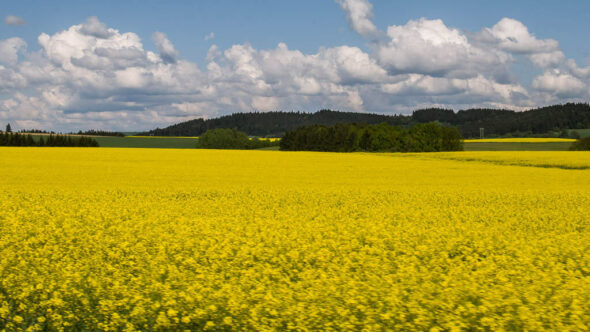 Bild: Rapsfeld in Südböhmen - Tschechien